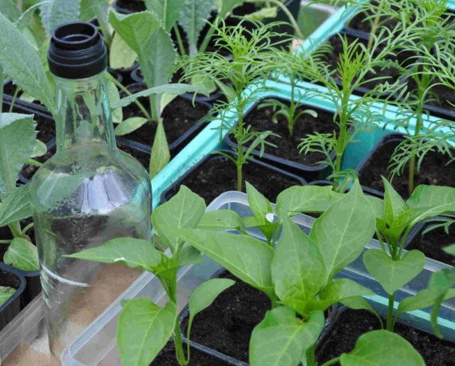 Småplantor av olika slag har flyttat ut till växthuset dagtid. Greenspire