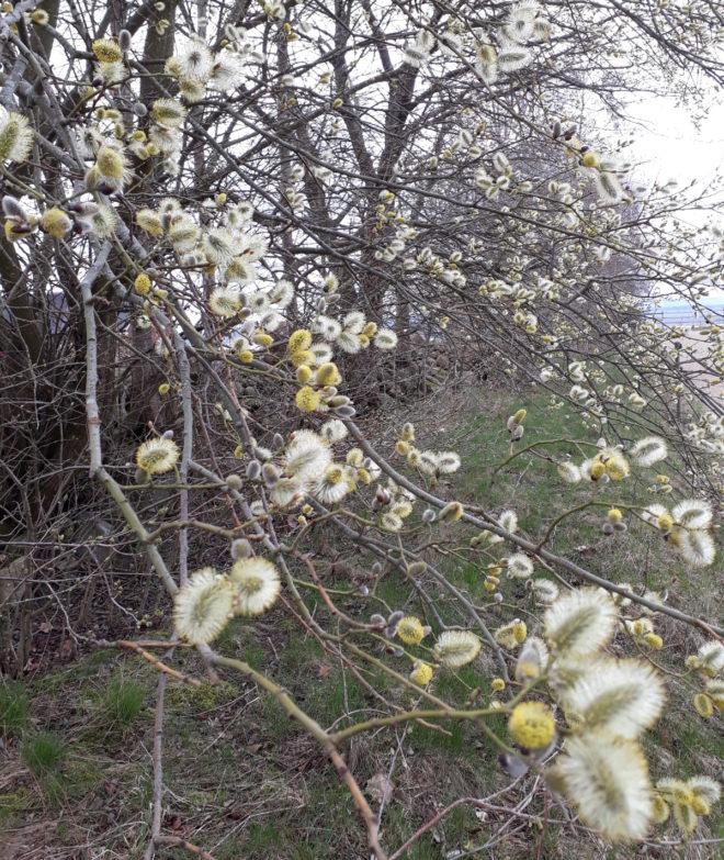 Greenspire trädgårdskonsult vide sälg pollen pollinerande insekter nektar tidig blomning
