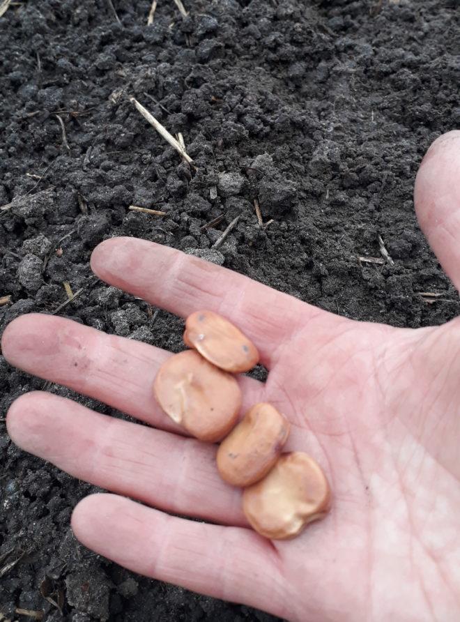Greenspire trädgårdskonsult bondböna frö jättefrö