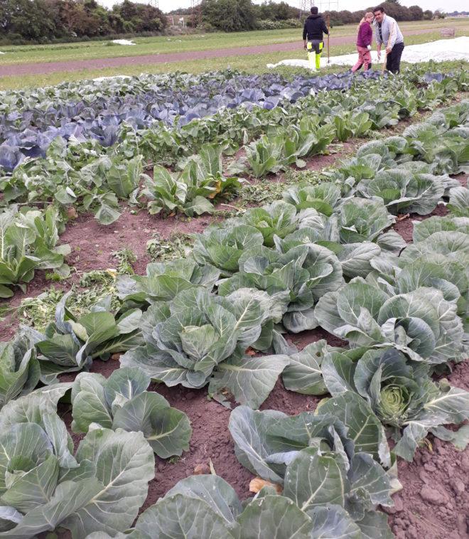 Greenspire trädgårdskonsult kålodling grönsaksland hacka ogräs kålplantor grönsaksodling