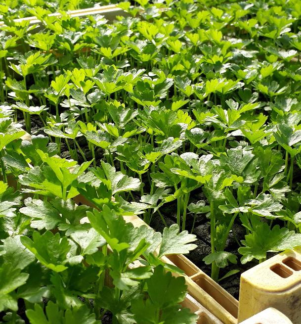 Greenspire trädgårdskonsult grönsaksplantor rotselleri småplantor