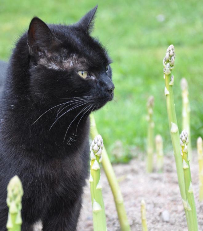 Greenspire trädgårdskonsult trädgårdsmästare sparrisodling katt sparrisskott