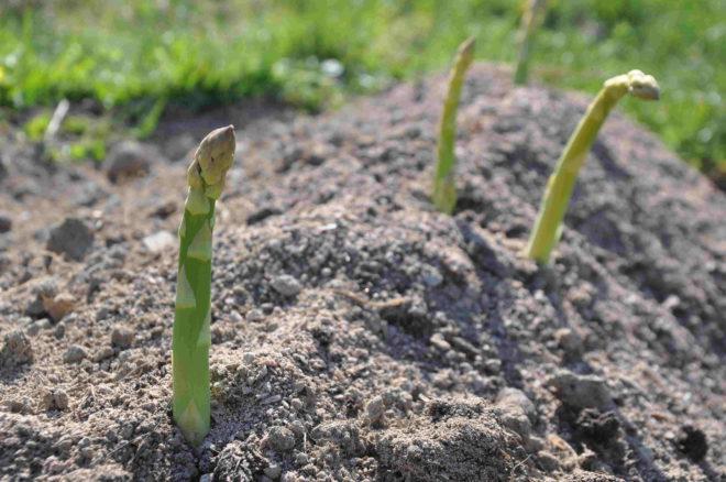 Greenspire Trädgårdskonsult sparris odling köksträdgård grön vit sparris
