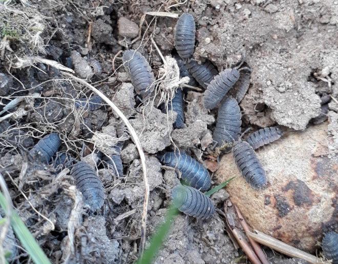 jordsuggor jordorganismer nedbrytare Greenspire Trädgårdskonsult mark jord mull