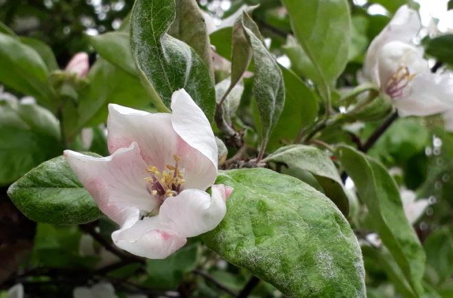 Greenspire trädgårdskonsult kvitten ludna blad blommor Cydonia oblonga