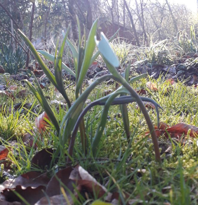 Fritillaria meleagris Greenspire Trädgårdskonsult trädgårdsrådgivning