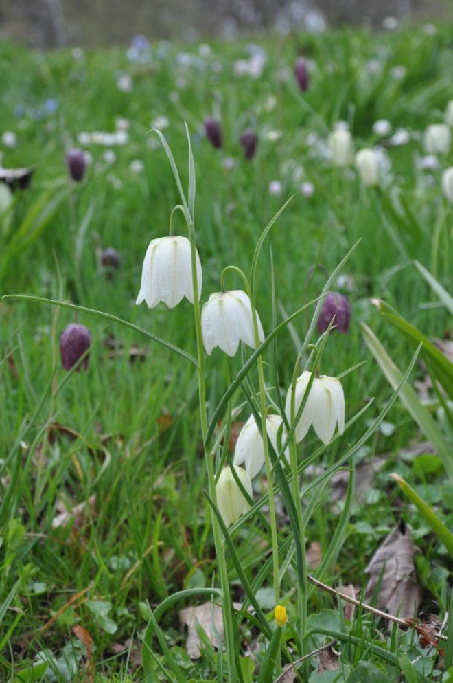 Fritillaria meleagris Greenspire Trädgårdskonsult ängsväxter fuktäng trädgårdsrådgivning