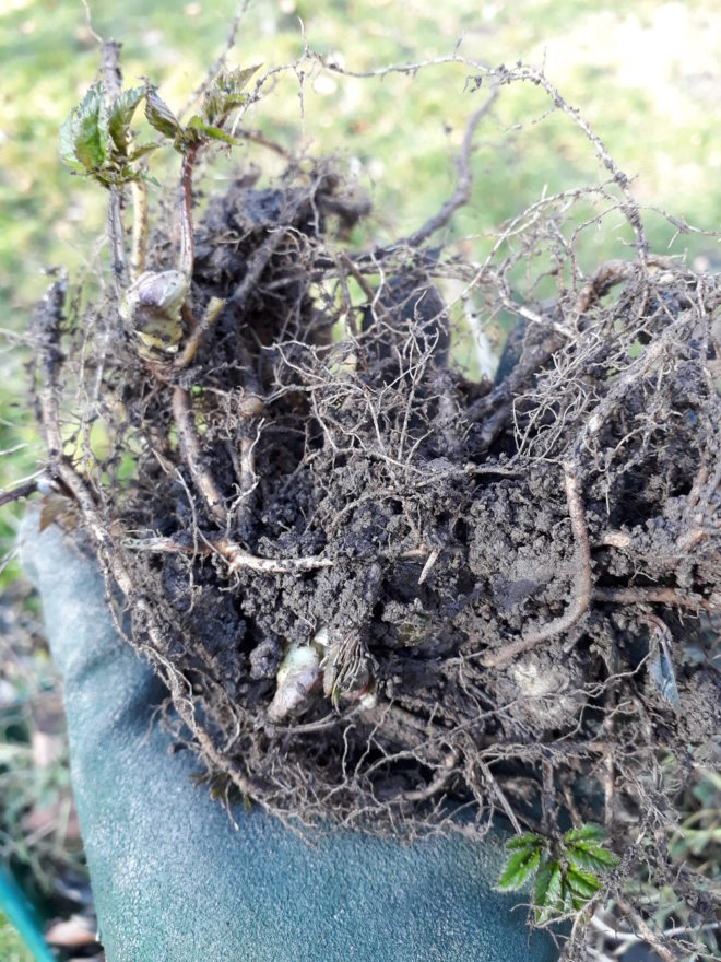 kirskål flerårigt ogräs ogräsrötter  Greenspire Trädgårdskonsult mark jord mull