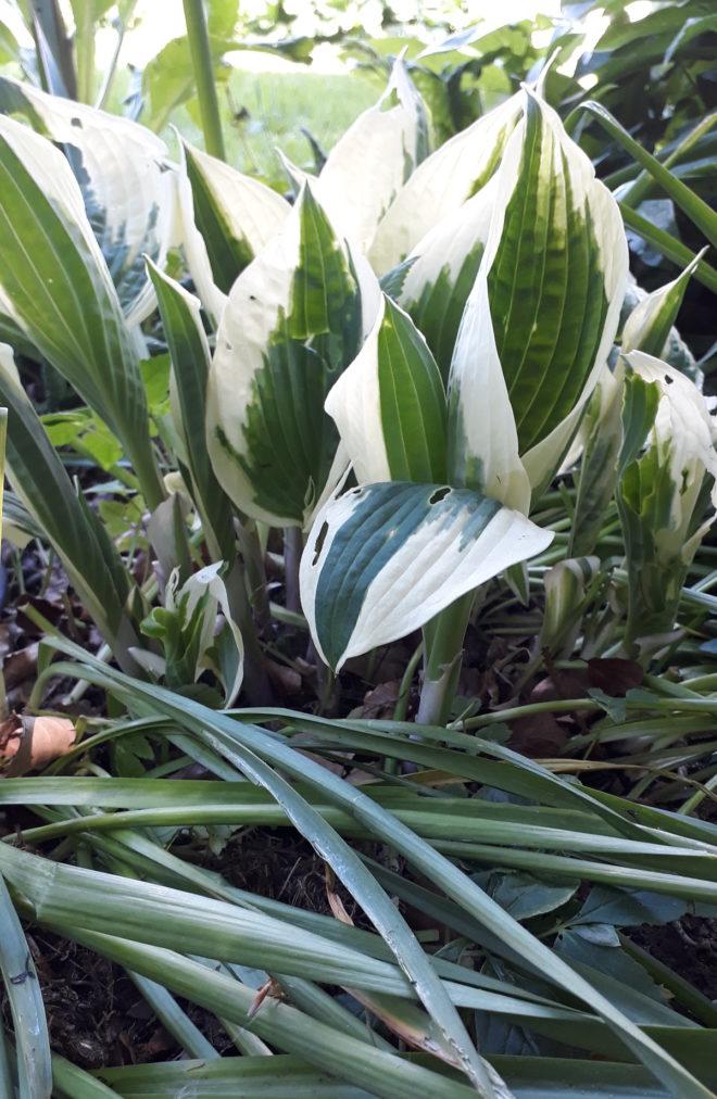 Greenspire trädgårdskonsult trädgårdsmästare lökväxter förökning Hosta narcisser