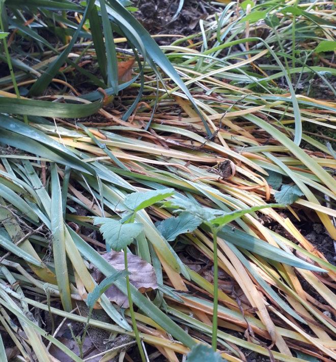 Greenspire trädgårdskonsult trädgårdsmästare lökväxter förökning snödroppar