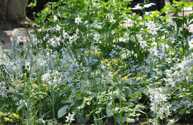 Greenspire trädgårdskonsult trädgårdsmästare trädgårdsdesign lökväxter aftonstjärna Ornithogalum narcisser Brunnera 'Jack Frost'