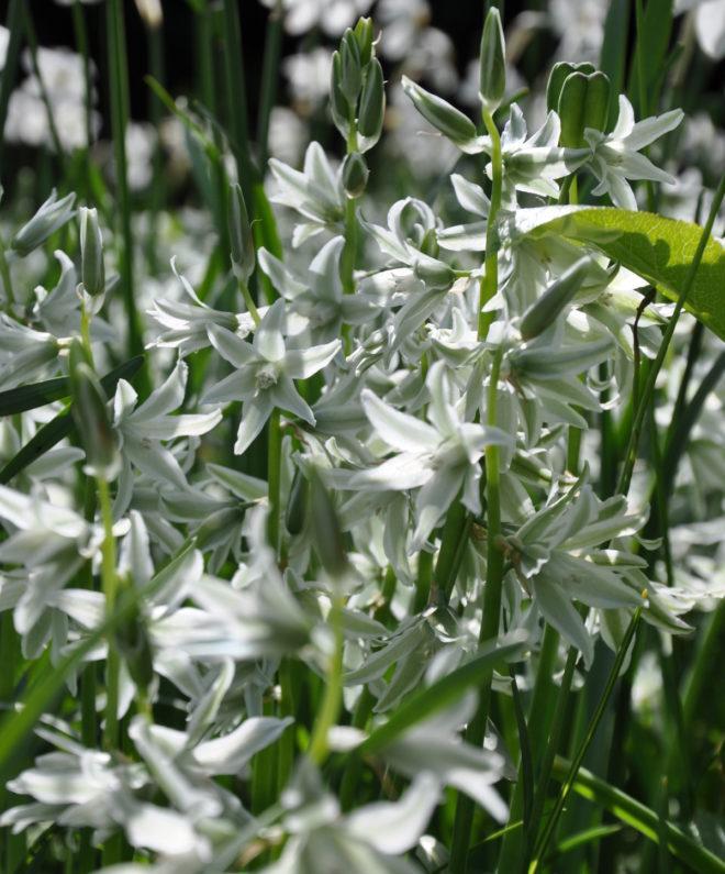 Greenspire trädgårdskonsult trädgårdsmästare trädgårdsdesign lökväxter aftonstjärna Ornithogalum