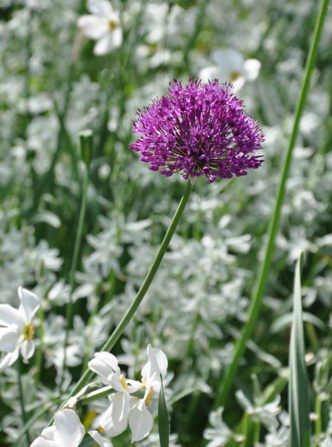 Greenspire trädgårdskonsult trädgårdsmästare trädgårdsdesign lökväxter aftonstjärna Ornithogalum Allium Narcissus recurvus