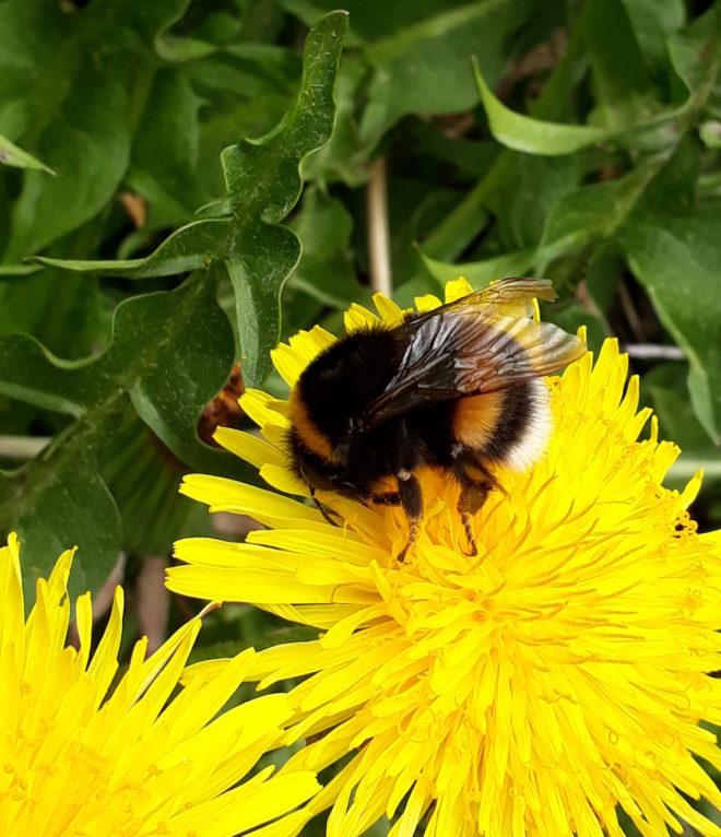 maskros pollenväxt jordhumla humlor greenspire trädgårdskonsult trädgårdsrådgivning