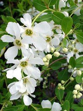 Pärlbusken är en favoritväxt för Greenspire Trädgårdskonsult med sin vackra blomning i maj månad.