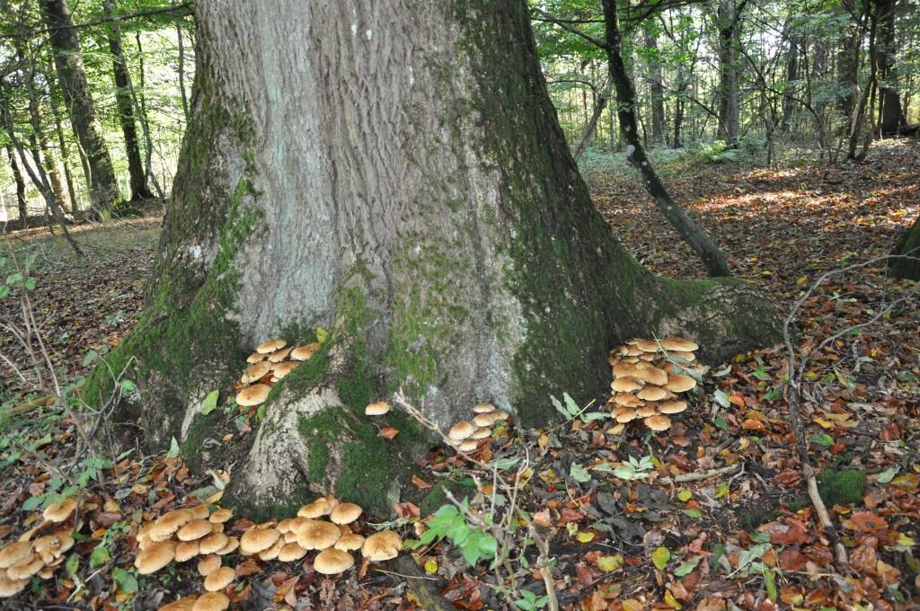 Honungsskivling har angripit askens stam vid rotbasen. Det ser illa ut, enligt Greenspire Trädgårdskonsult.