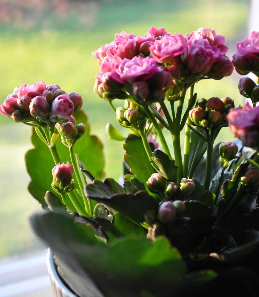 Kalanchoe eller höstglöd kallas våreld när den säljs om våren.