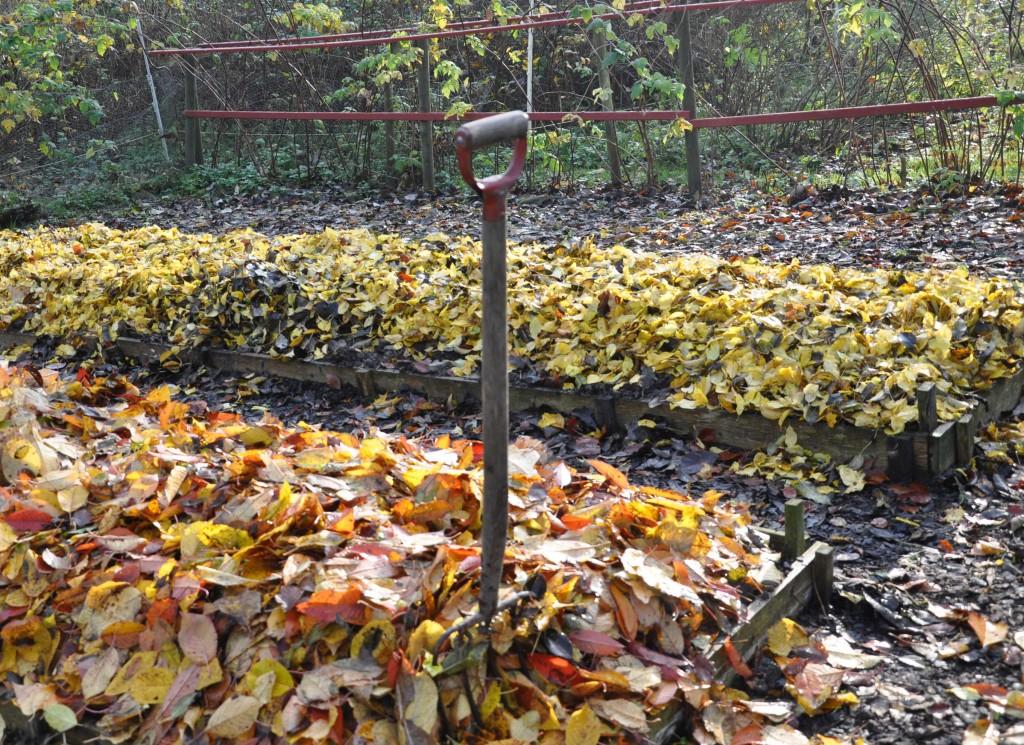 Höstlöv som ska grävas ner i odlingsbäddarna är mumma för en lerig jord. Greenspire Trädgårdskonsult lever som hon lär och jordförbättrar sin jord regelbundet.