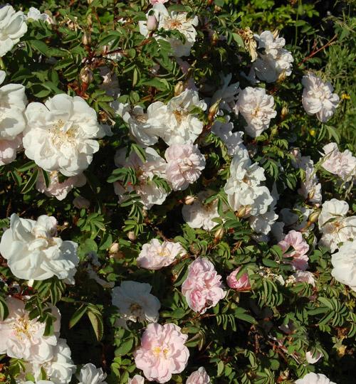 Stanwell Perpetual är en engelsk Spinosissima-ros som blommar hela säsongen. Svagt rosa, doftande blommor vid knopputslag som går över i vitt. Greenspire Trädgårdskonsult lägger upp den på listan över växter hon önskar sig.