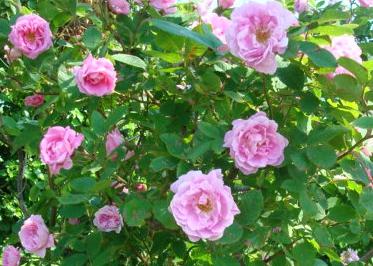 Den norska rosen 'Hurdal' blir riktigt stor och kräver sin plats för att inte invadera andra buskar.