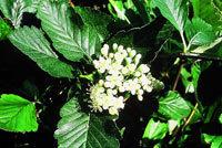 Glänsande mörkgrönt bladverk och ett tätt växtsätt har häckoxeln.