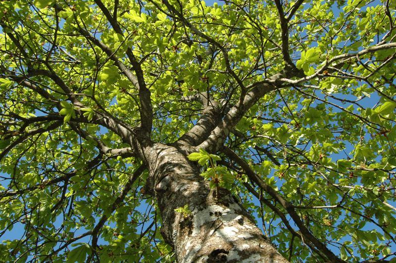 En skirt grön trädkrona av hästkastanj med flimrande solkatter skapar lugn i själen.