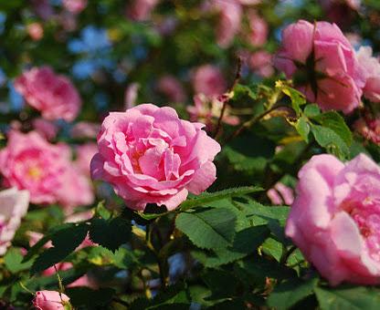 Kraftigväxande Hurdalsrose har djupt rosa blommor och ett grågrönt bladverk.