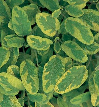 Vacker gulbrokig kryddsalvia som passar bra som låg rabattväxt förutom i kryddlandet.