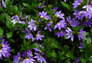 Femtungan, Scaevola aemula, växer snabbt och passar bra i hängande sommarblomskompositioner.