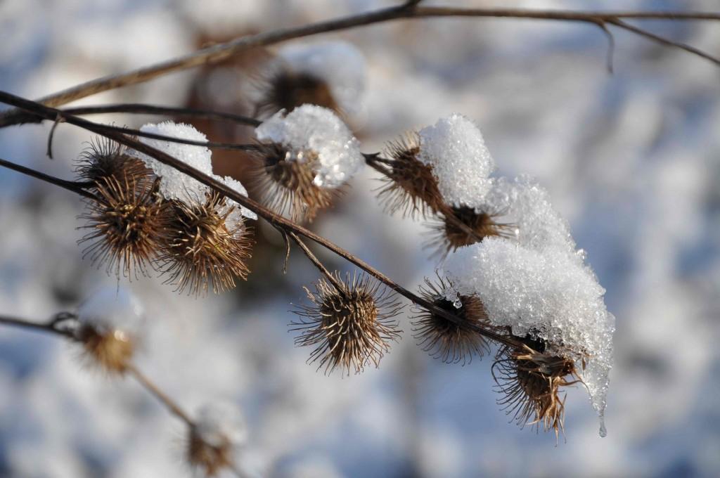 Kardborren är prydd med en snöhätta.