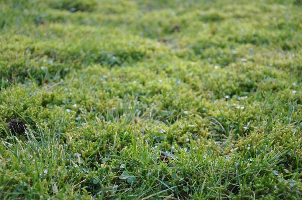 Mosstäcket är tätt i Greenspires gräsmatta.