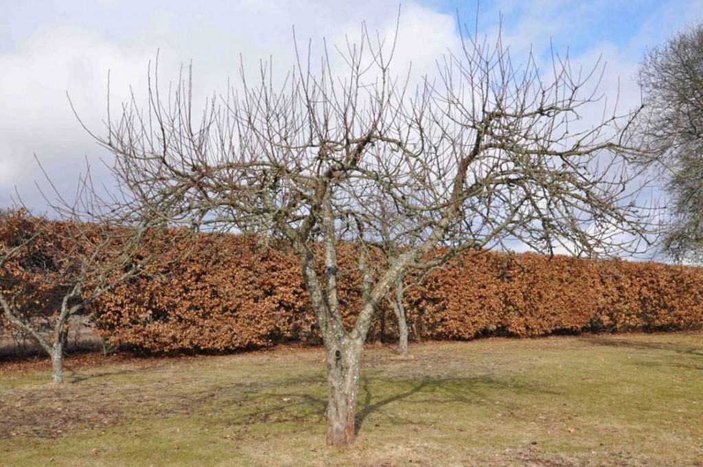 Ett äppleträd som står inför vårvinterns beskärning.