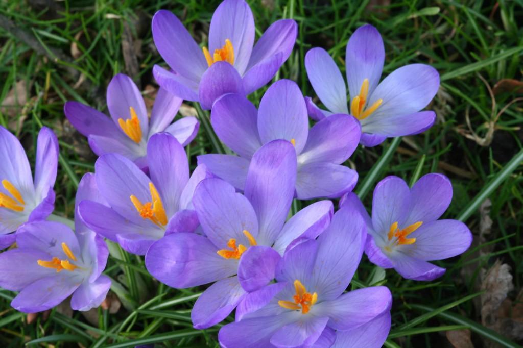 Ljuvt blålila blommor har Crocus 'Whitewell Purple'.