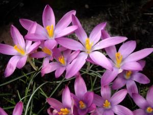 Snökrokus med rosalila blommor som öppnar sig mot solen.