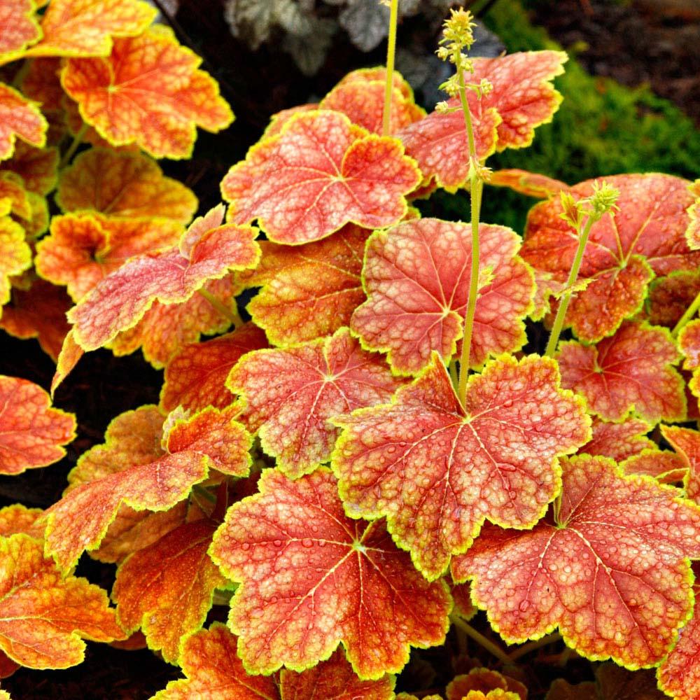 Brokbladigt gulorange alunroten 'Delta Dawn' är en trendig växt i år.