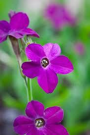 Härligt mörk purpurfärg och dessutom en behaglig doft har 'Perfume Purple'.