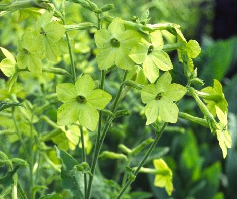 Snygga, limegröna blomstertobaken passar jättefint ihop med blå och lila toner.