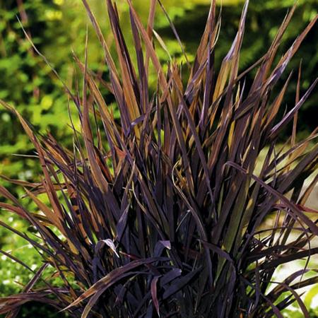 Det rödbladiga prydnadsriset blir en effektfull accent i årets sommarblomsplanteringar.