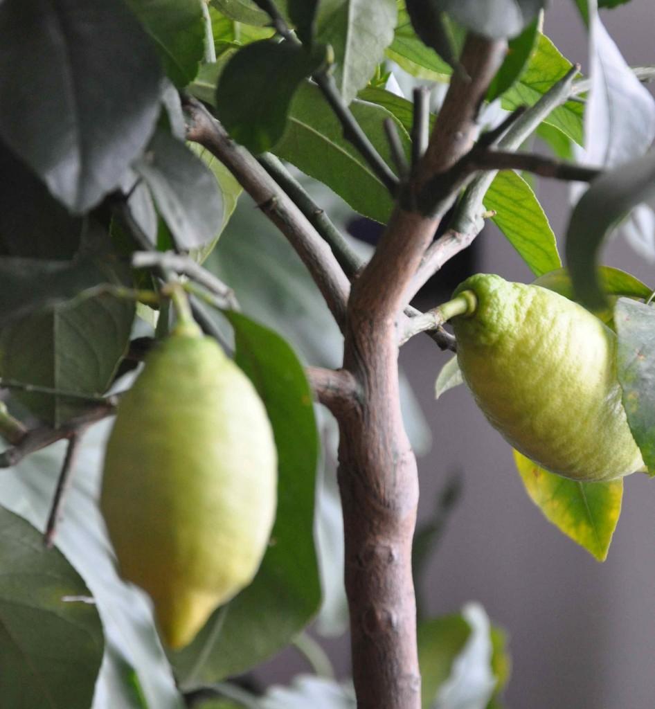 Halvmogna citronfrukter på mitt citronträd inköpt ifjol.