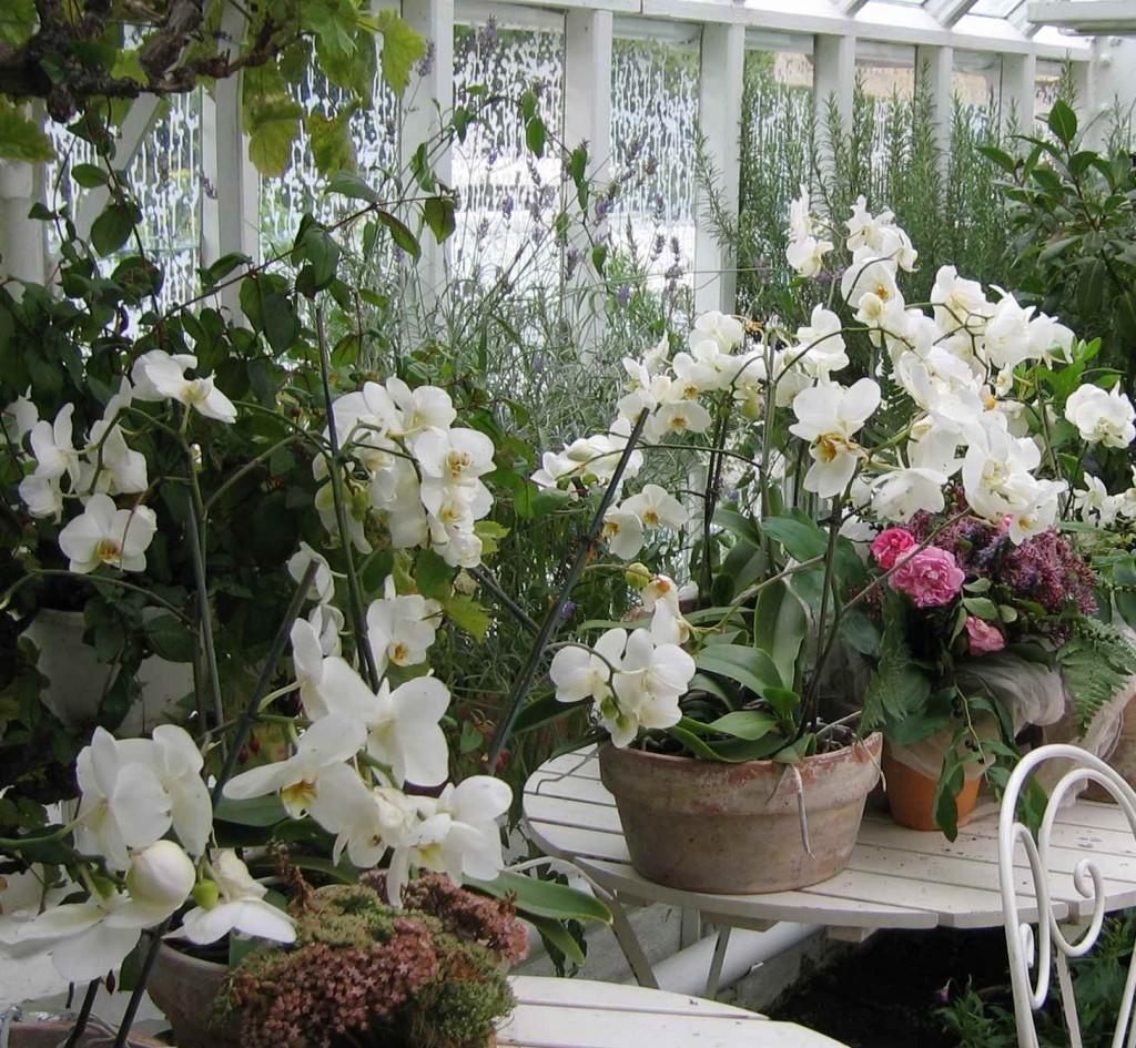 Ett överflöd av vita orkideer i orangeriet.