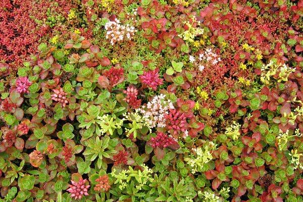 Ett blommande sedumtak drar till sig mängder av insekter.