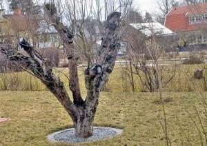 Stympning av träd är inte beskärning.