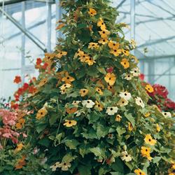 Svartöga är en snabbväxande slingerväxt som trivs ute på sommaren.