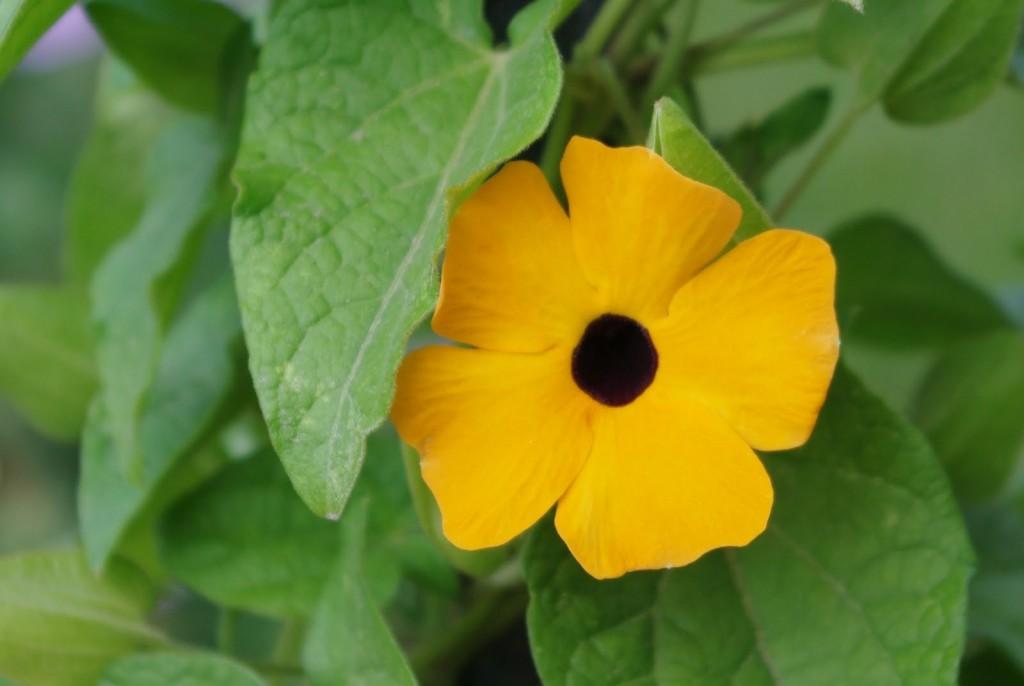 Svartögat finns i fler färger förutom den starkt orange. Även vitt, ljusgult, rött samt utan det svarta ögat.