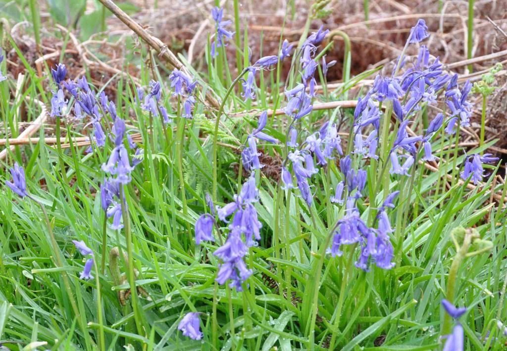 Höga scillor med hyacintformade klockor, Hyacinthoides non-scripta, växer i täta ruggar..