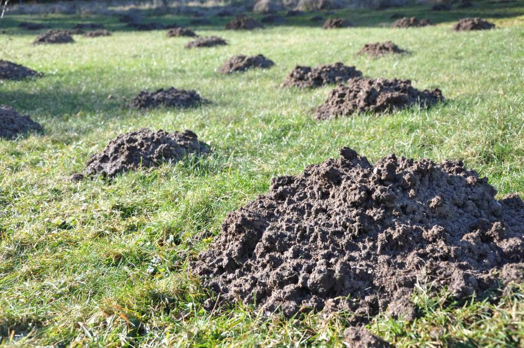Gräsmattan är full av mullvadshögar i vår.