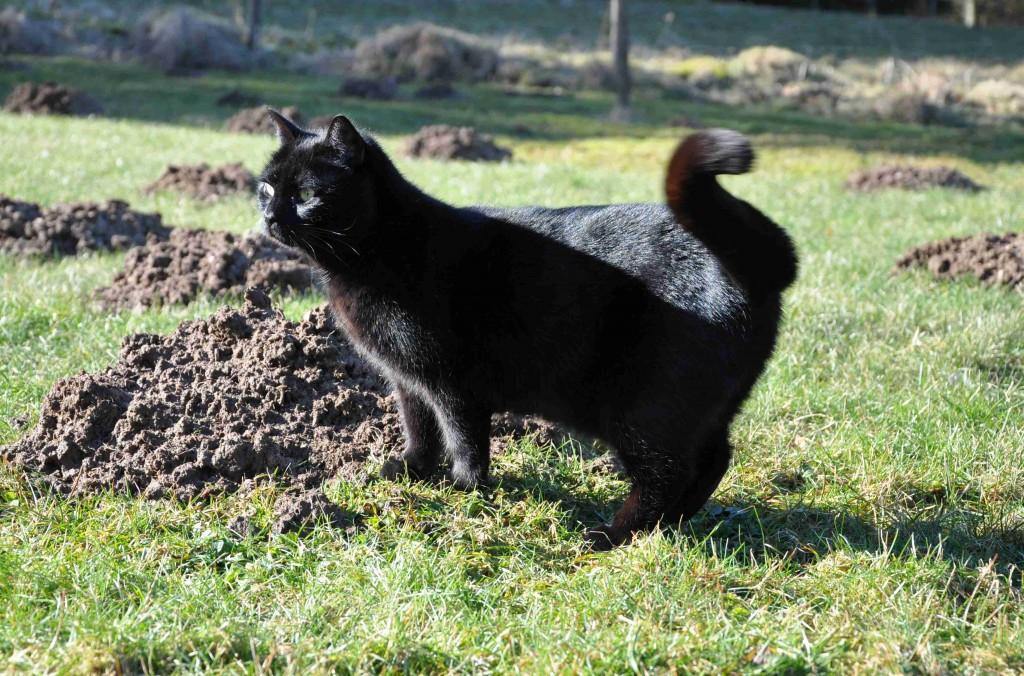 En pigg katt kan nog skrämma en koloni med mullvadar om hon vill.