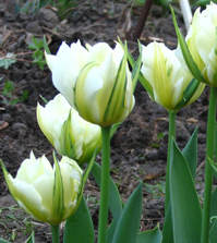 Viridifloratulpaner har gröna streck som går ut från bladskaftet till kronbladen.