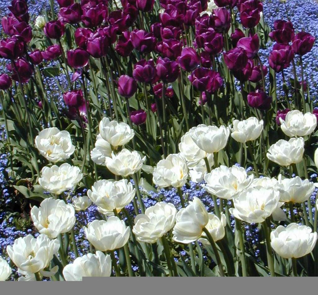 En fräsch blandning av olika lökväxter i stora färgfält ger ett generöst intryck.