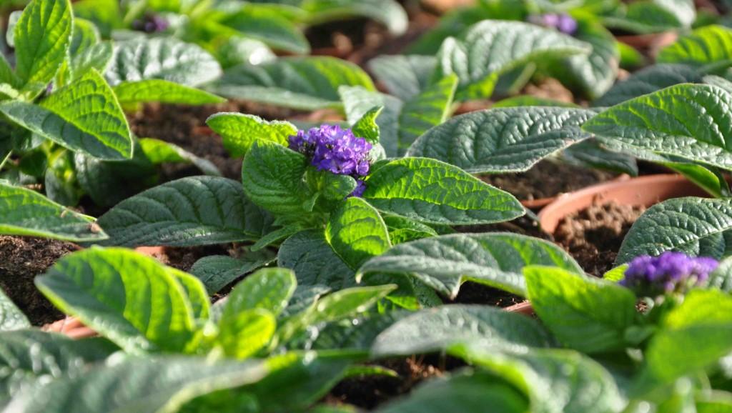Mörkt violett heliotrop har en underbar doft och en kraftig färg.